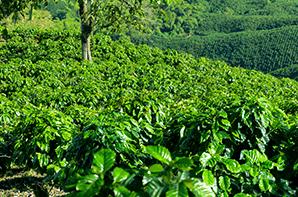 ¿Cuáles son los principales tipos de café cultivados en Colombia?